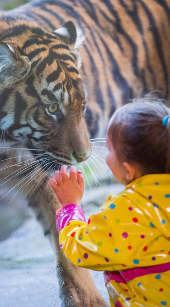A child watching a tiger